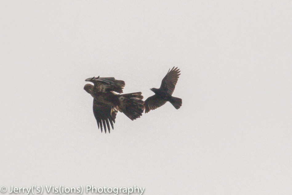 American crows mobbing a juvenile bald eagle