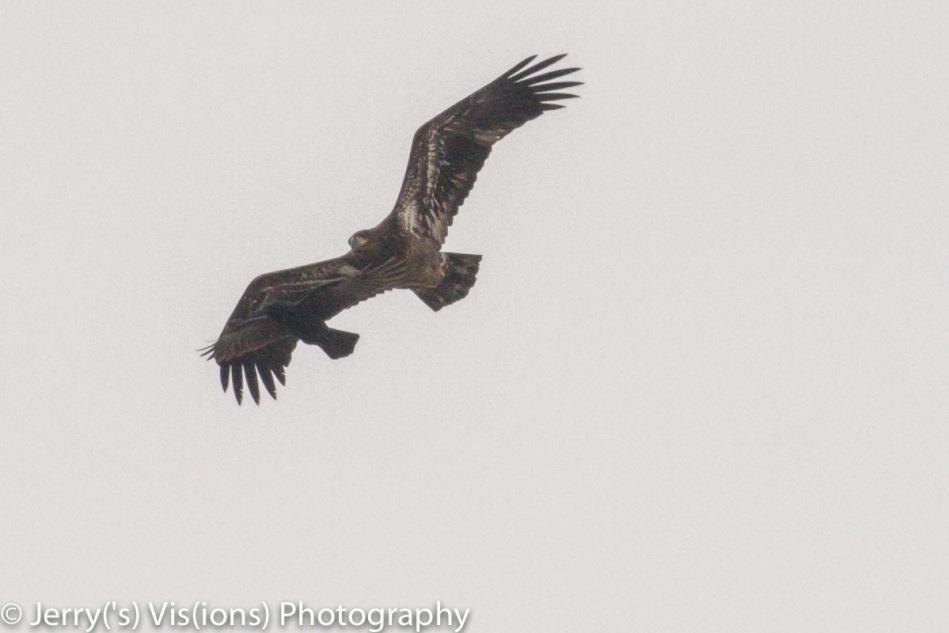 American crows mobbing a juvenile bald eagle