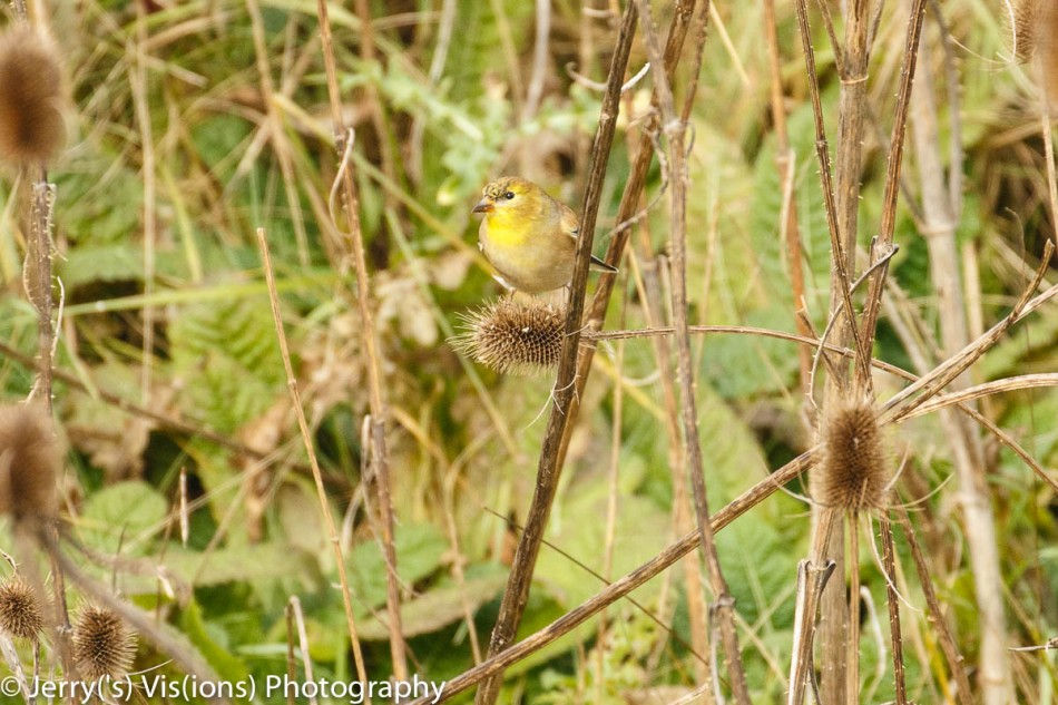 American goldfinch eating teasel seeds