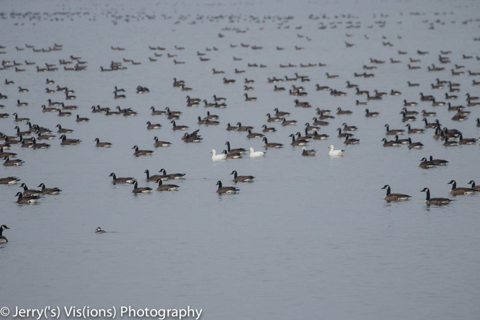 Snow and Canada geese