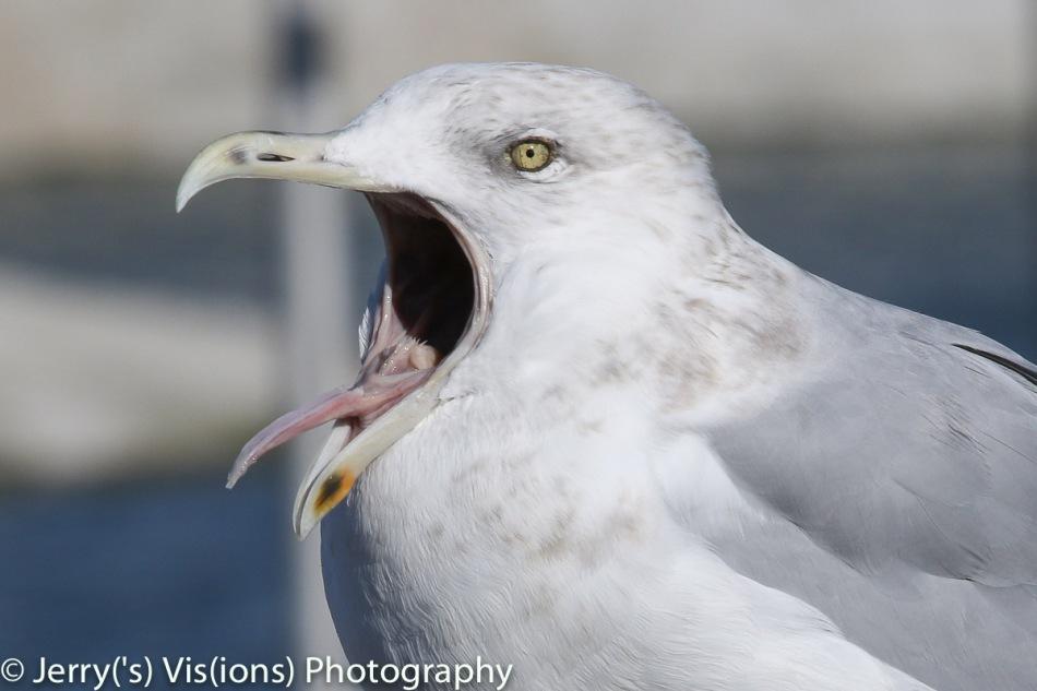 Herring gull yawning