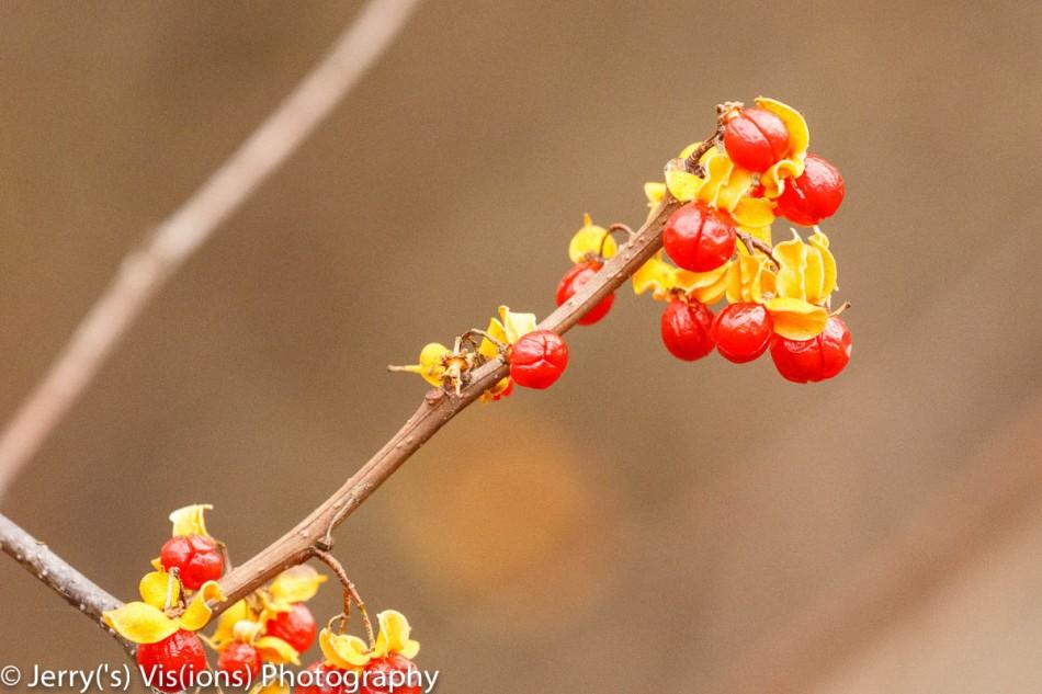 Oriental bittersweet berries?