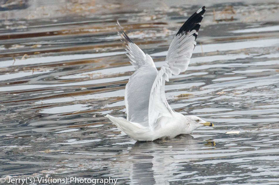 Herring gull taking flight