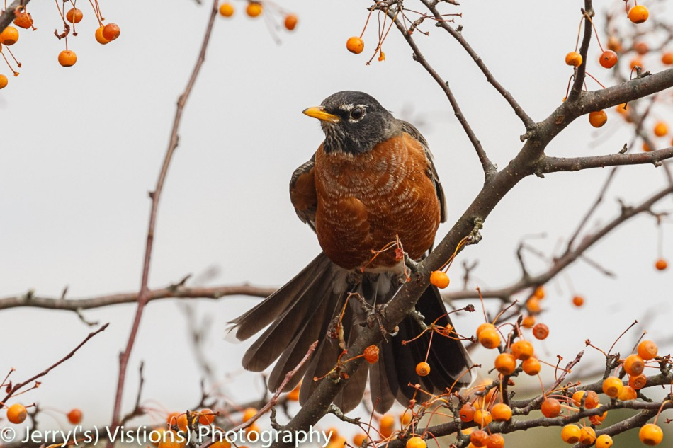 American robin Stretching