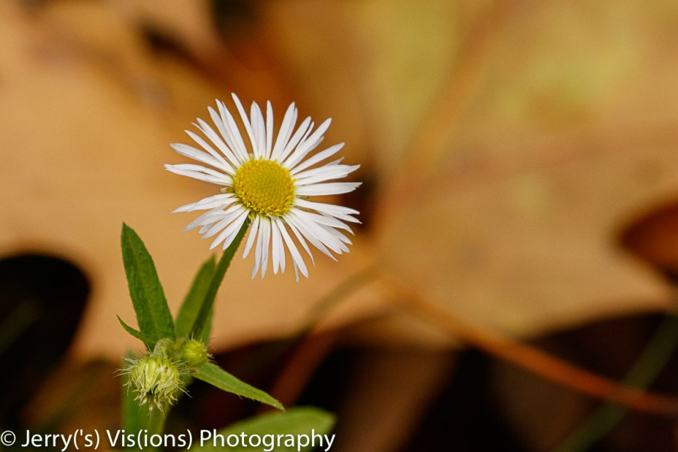 Daisy or aster?