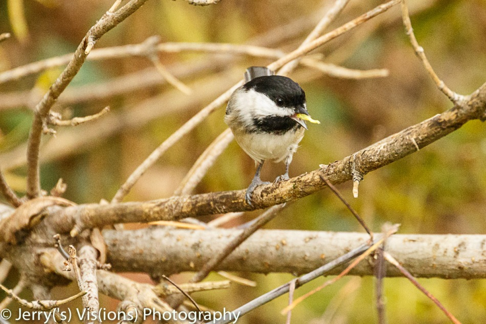 Black-capped chickadee eating a snack