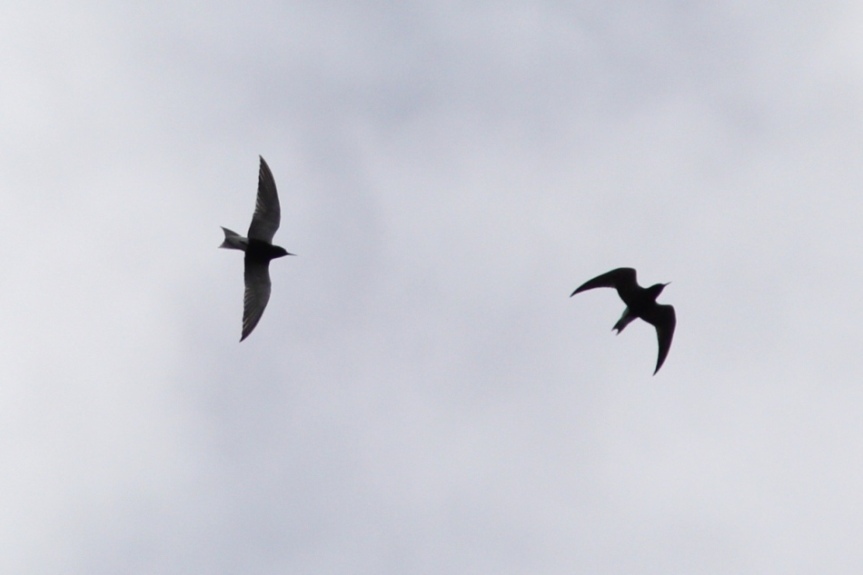 Black terns in flight