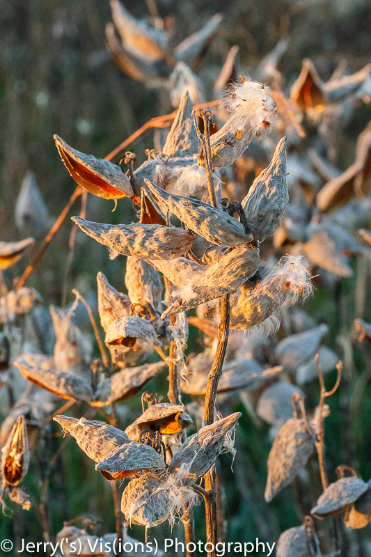 Milkweed seed pods at sunrise