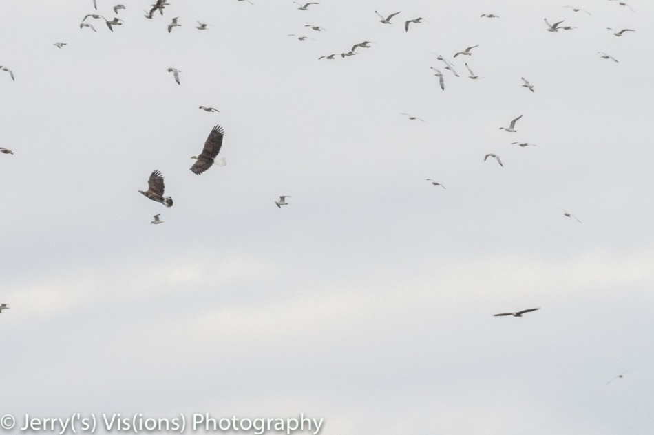 Bald eagles fighting for territory as gulls look on