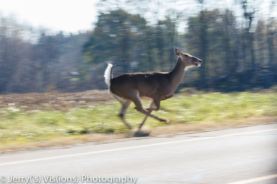 Whitetail doe on the run