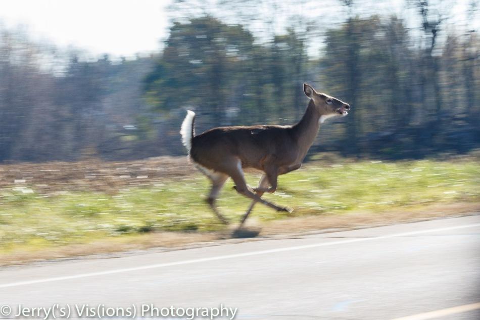 Whitetail doe on the run