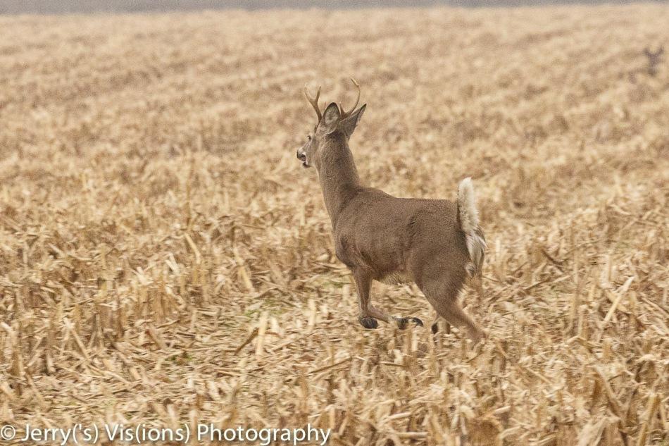Whitetail buck on the run