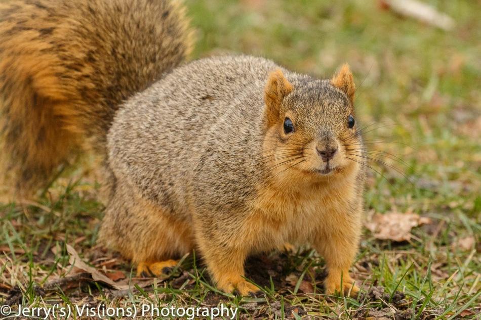 Fat fall fox squirrel