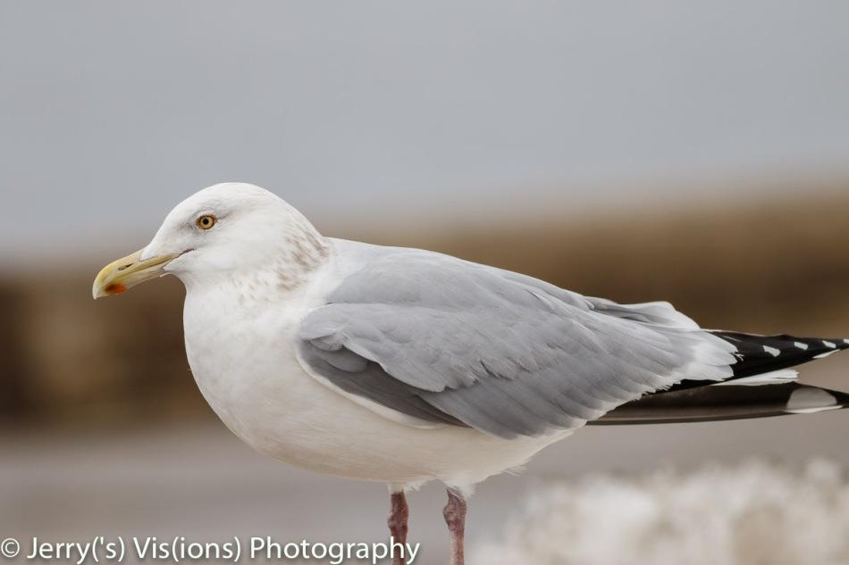 Herring gull, 400 mm, not cropped