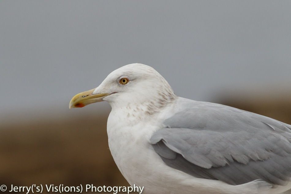 Herring gull, 560 mm, not cropped
