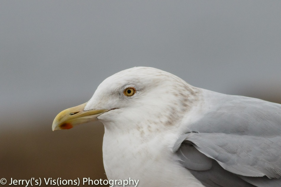 Herring gull, 800 mm, not cropped