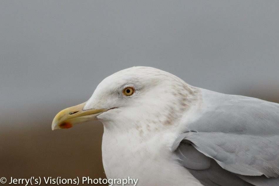 Herring gull, 800 mm, not cropped