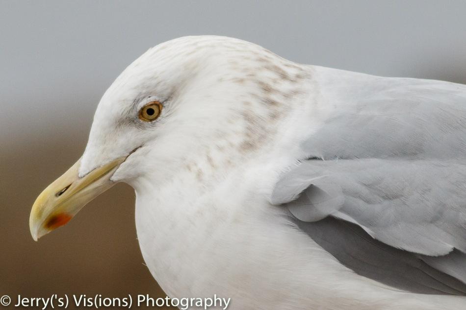 Herring gull, 800 mm, cropped