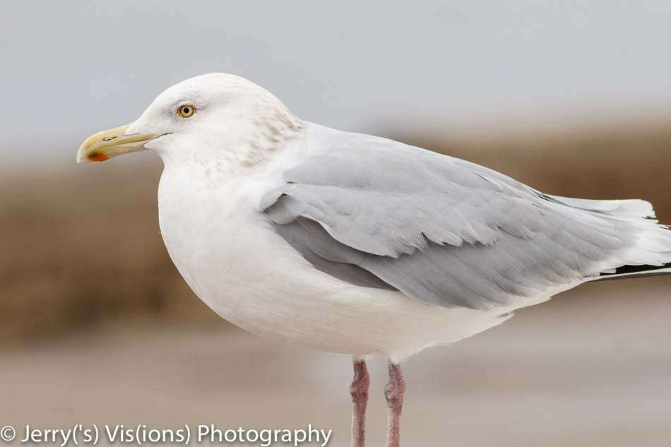 Herring gull, 400 mm, cropped to the same image size as the last one