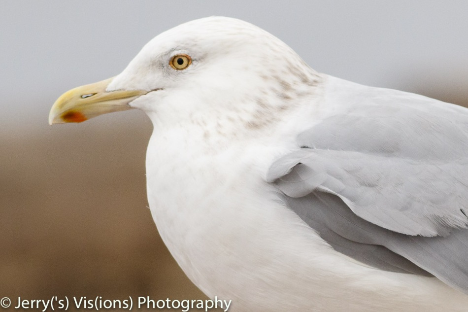 Herring gull, 400 mm, cropped to get the gull the same size