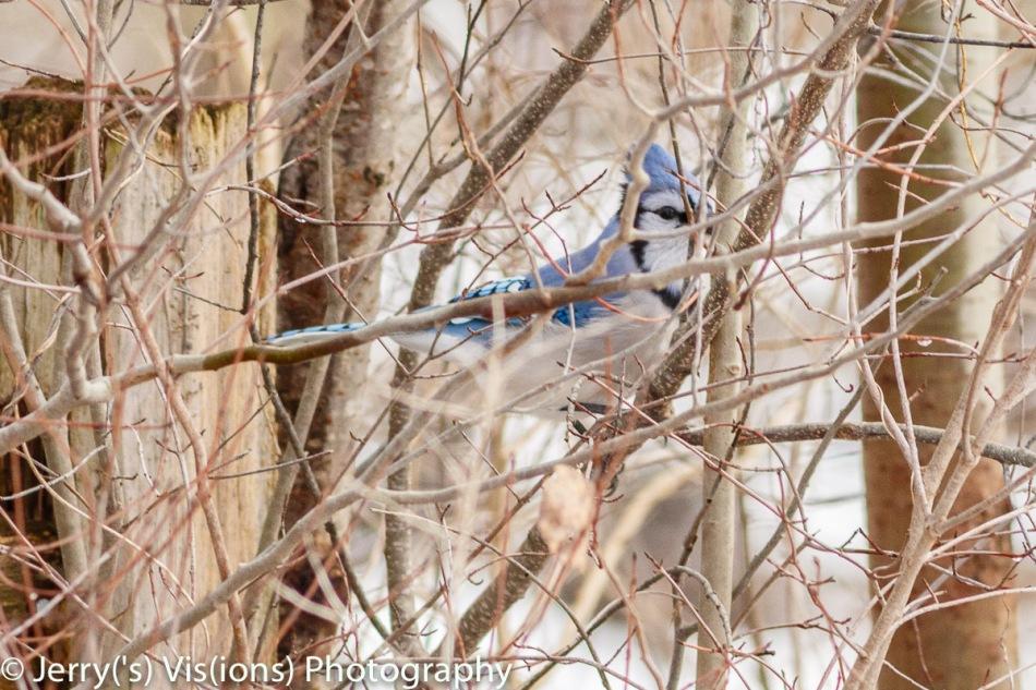 Blue jay hiding