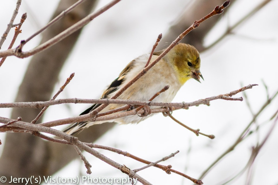 American goldfinch eating leaf buds