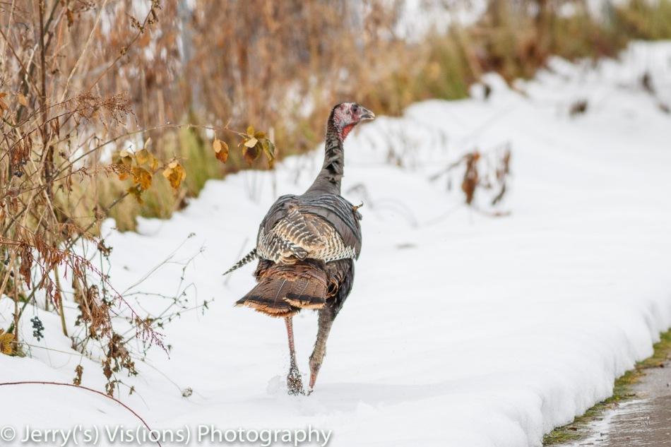 Juvenile turkey on the run