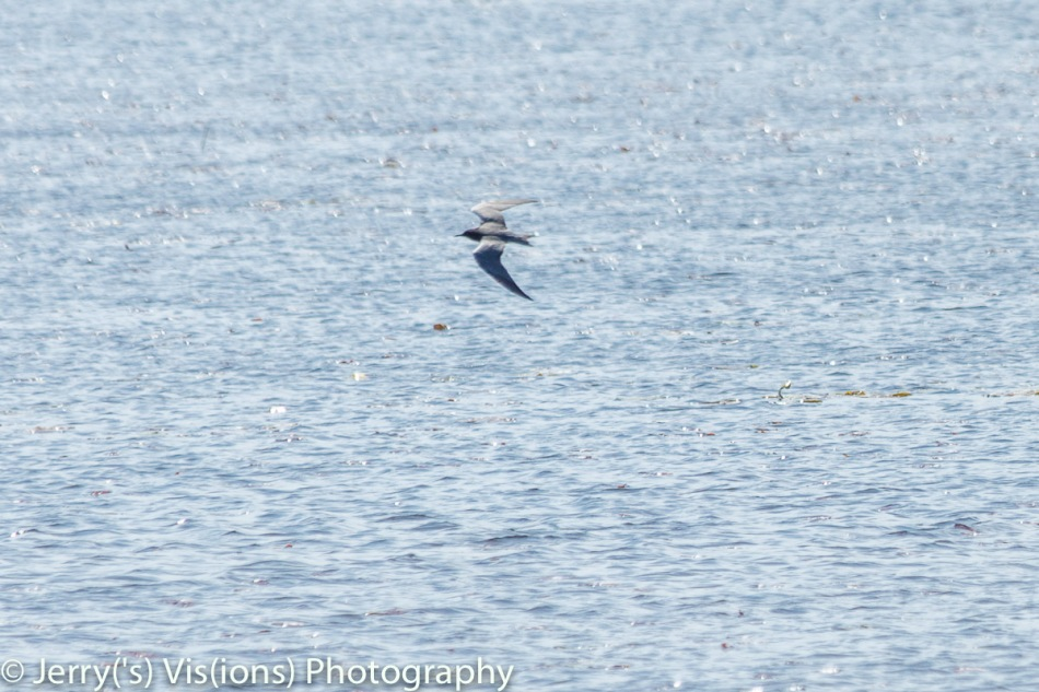 Black tern in flight