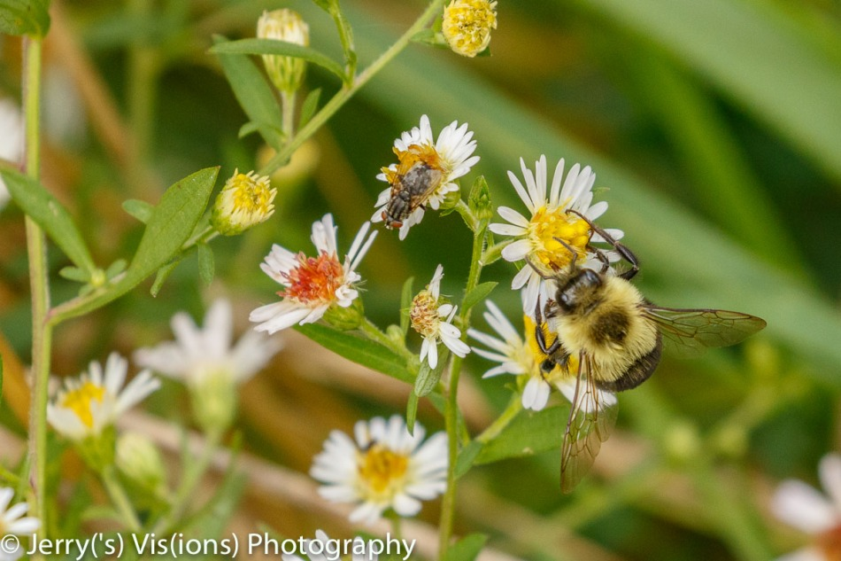 Bee, fly, and asters