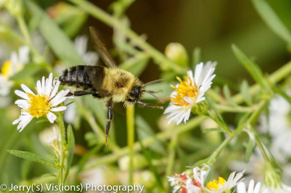 Bee between asters
