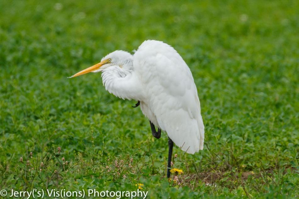 Great egret preening