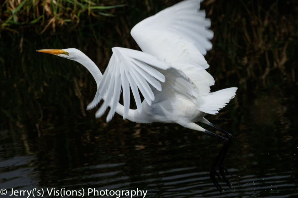 Great egret at take off