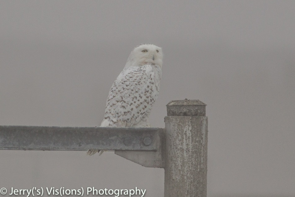 Snowy owl in the fog