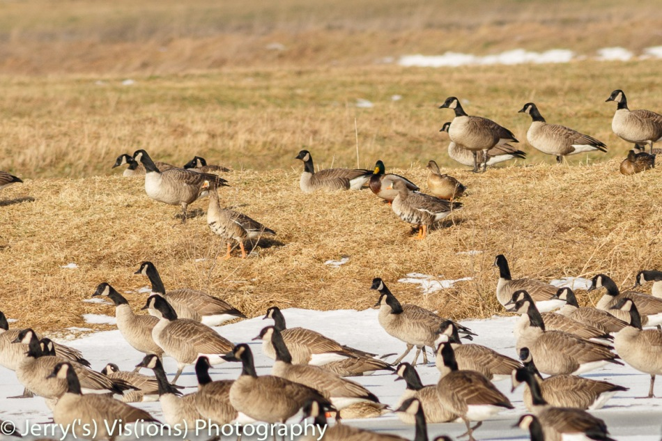 Two greater white-fronted geese in a mixed flock
