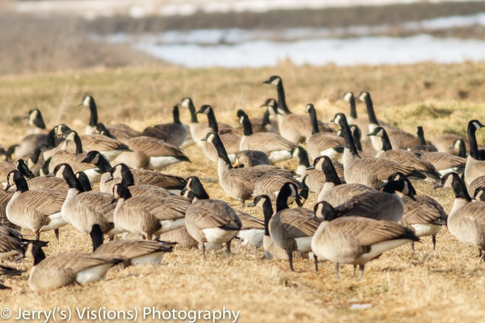 One greater white-fronted goose in a flock of Canada geese