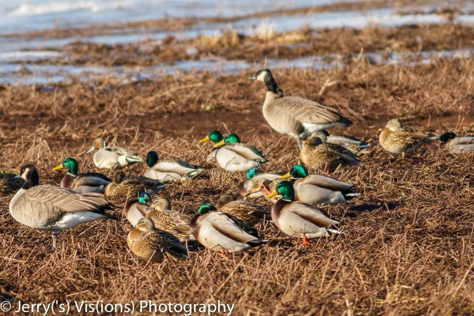 Northern pintail drake, mallards, and Canada geese