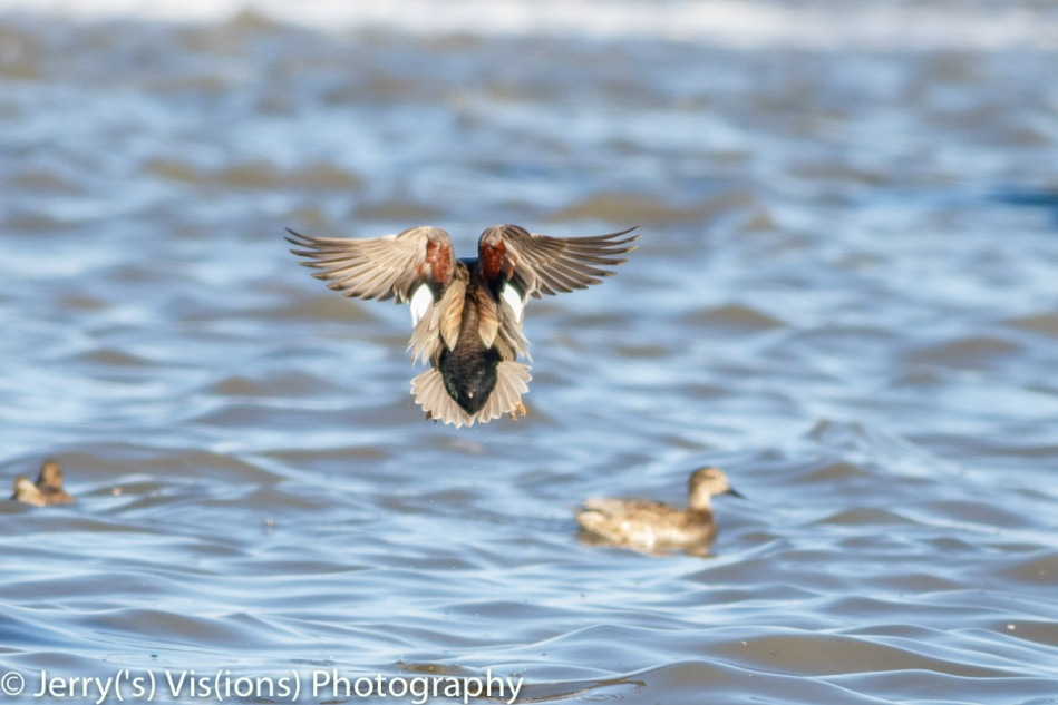 Gadwall duck in flight