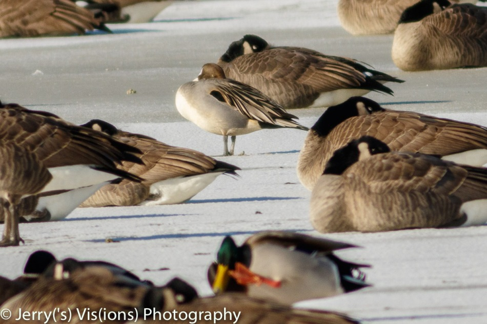 Northern pintail duck surrounded by Canada geese