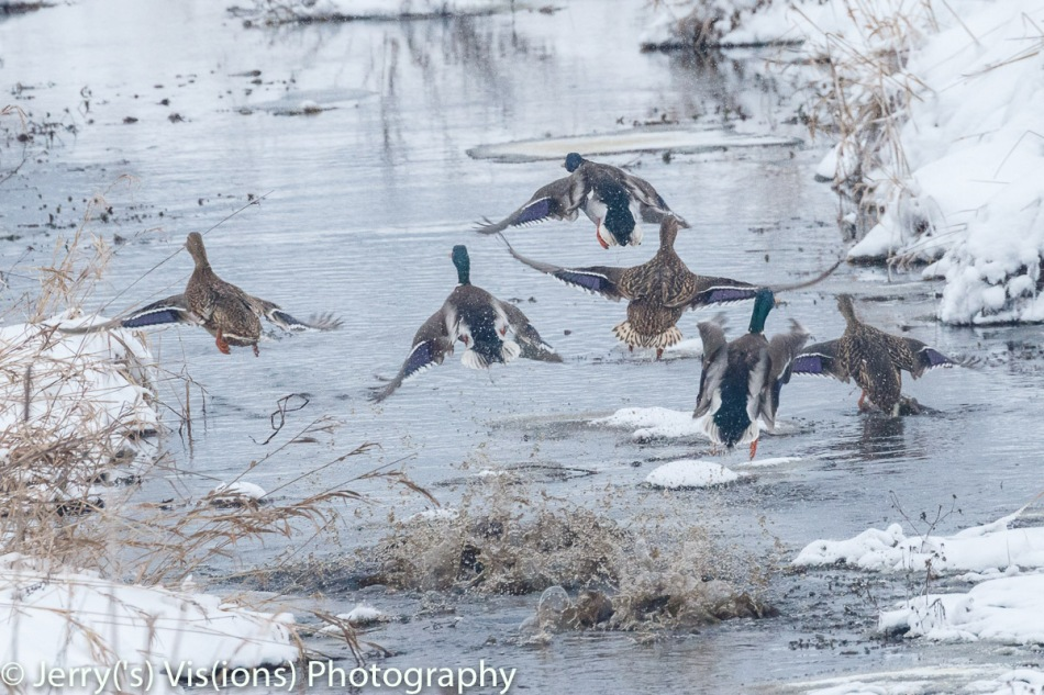 Mallards taking off