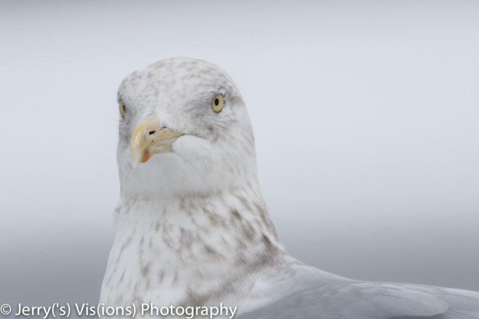 Fidgety Herring gull