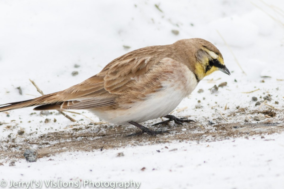 Horned lark that wouldn't stop moving