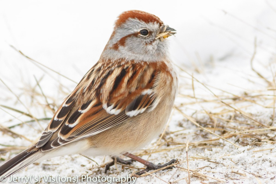 American tree sparrow that finally posed for me.