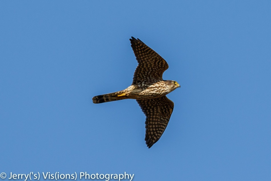 Merlin in flight