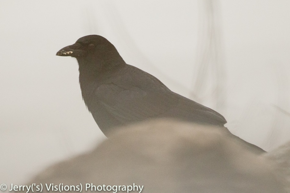 American crow in the fog