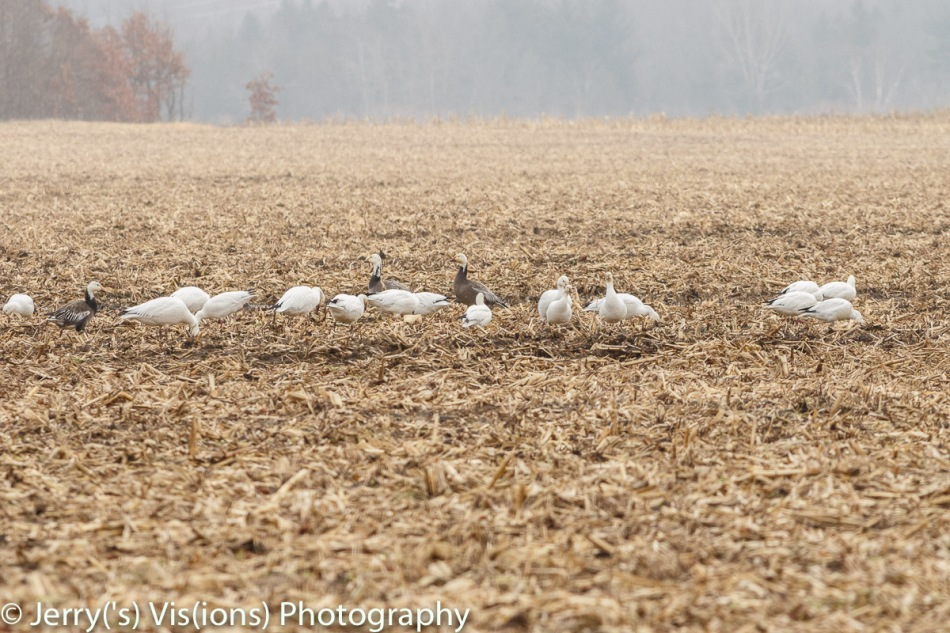Mostly snow geese