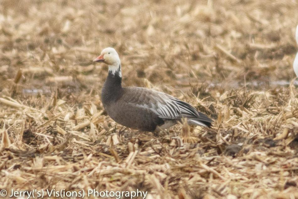 Snow goose, blue morph