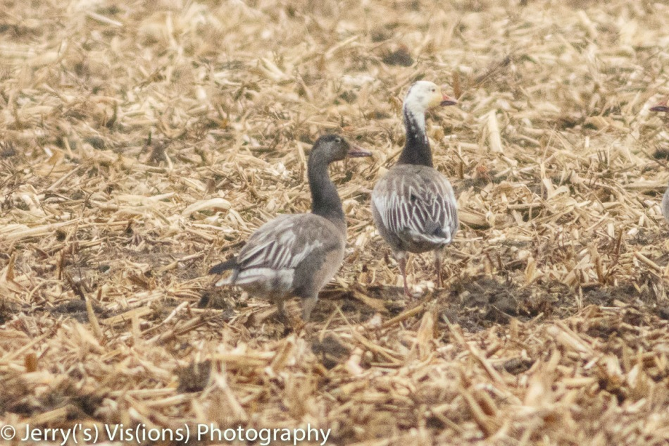 Blue morph snow geese, adult and juvenile