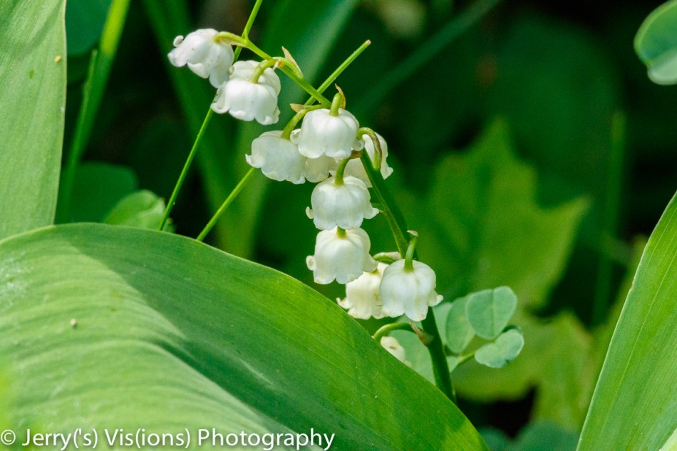 Lily of the valley?