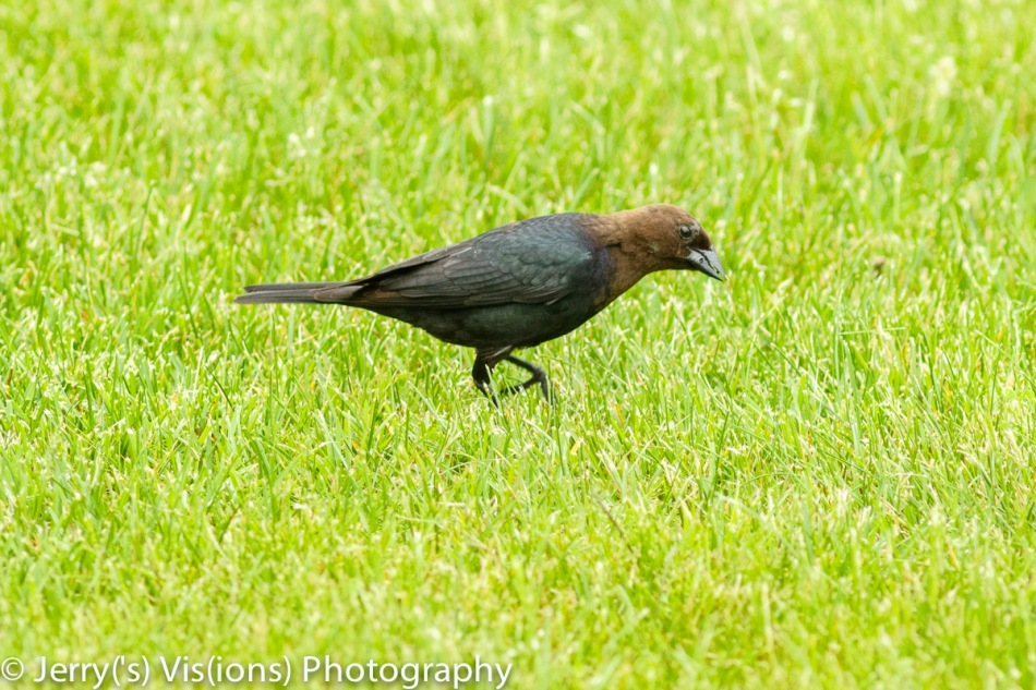 Male brownheaded cowbird