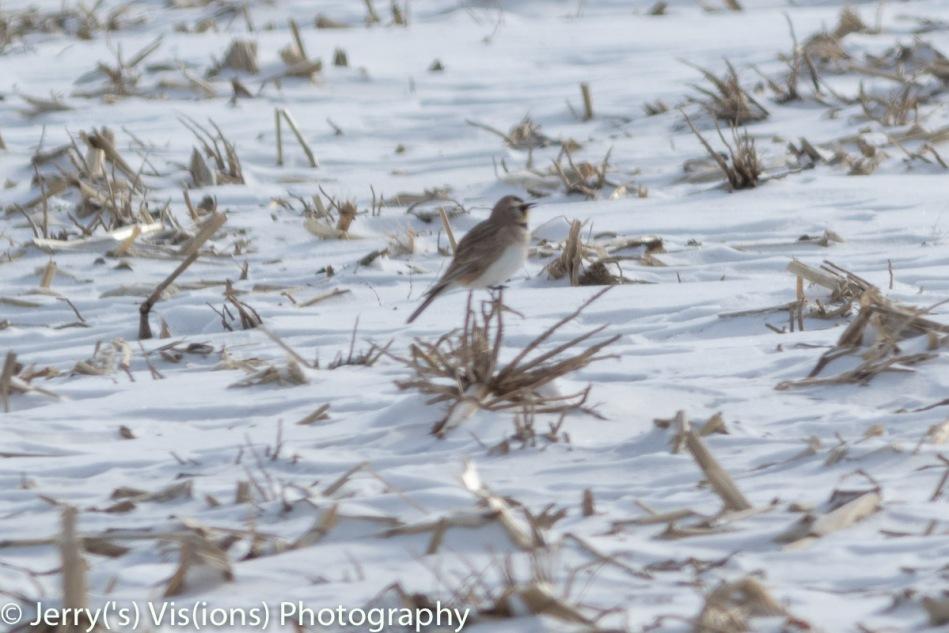 Horned lark singing!